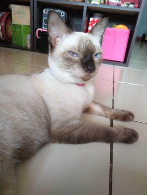 Her Highness, Royal Duchess the Siamese. ♥